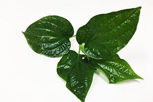 Wildbetal leafbush Extract