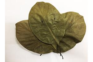 Litea glutinosa Extract