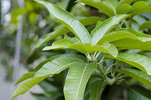 Mango leaves extract