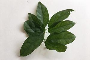 Tiliacora triandra Extract